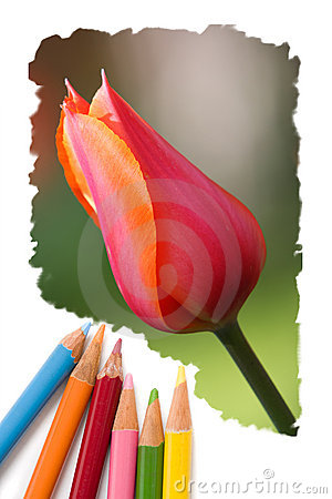 Color pencil drawing tulip flowers