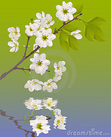 Color sakura flowers with reflection