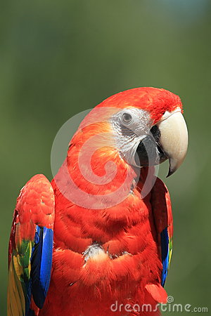 Color scarlatto del macaw