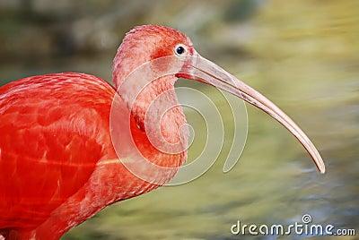 Color scarlatto dell Ibis