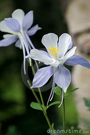 Free Colorado Blue Columbine Duo Royalty Free Stock Images - 10753149