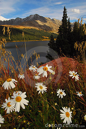 Colorado mountain daisies