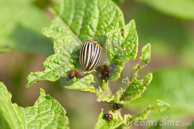 Colorado Potato Beetle Stock Photo - Image: 14567380