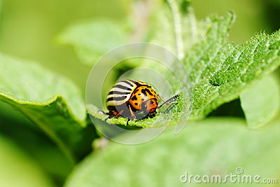 Colorado potato beetle feeding on leaves