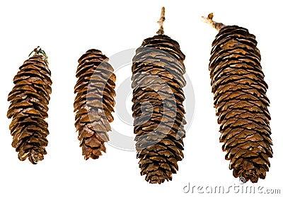 Colorado Spruce Cones