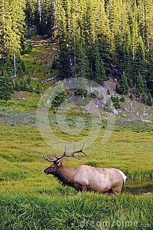 Colorado Wildlife - Elk