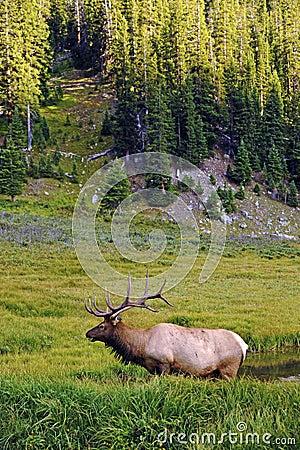 Colorado Wildlife - Elk