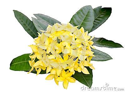 Colore di giallo del geranio della giungla fotografia - Geranio giallo ...