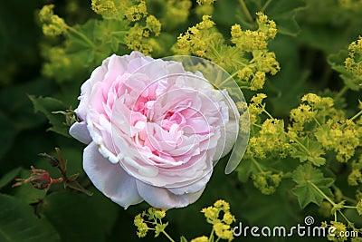 Colore rosa di rosa ed alchimilla.