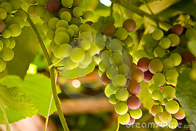 Colored grapes