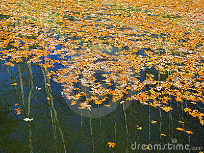 Colored oak leafs on the water