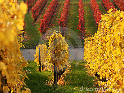 Colored vineyard