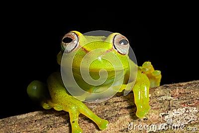 Colores vivos brillantes de la rana arbórea hermosa del Amazonas