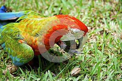 Colorful African macaw parrot