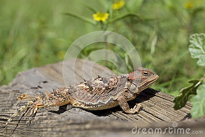 Colorful Arizona Horned Toad
