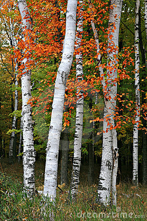 Free Colorful Aspen Birch Tree Stock Images - 6715184