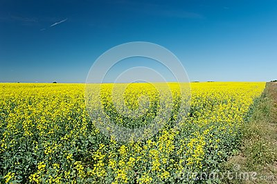 Field of colza
