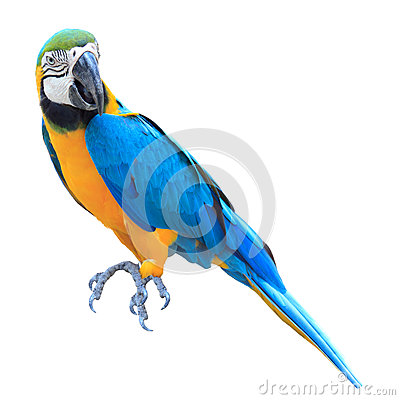 Colorful blue parrot macaw isolated