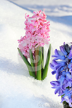 Colorful bouquet from hyacinth