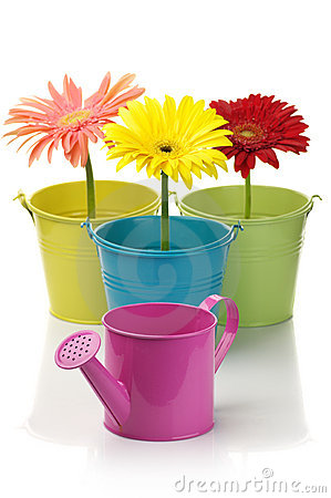 Colorful buckets, watering can and gerberas