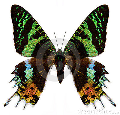 Free Colorful Butterfly On White Royalty Free Stock Photo - 4774095