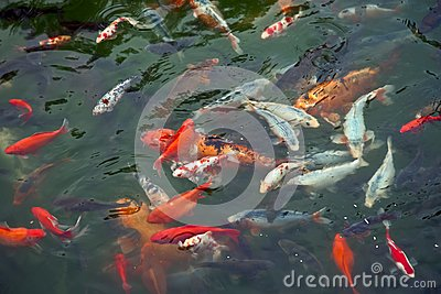 Colorful Carps