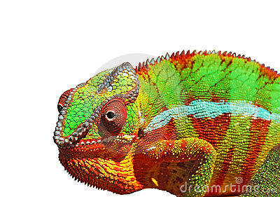 Colorful Chameleon over white