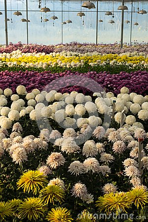 Free Colorful Chrysanthemum Flowers In Glasshouse Royalty Free Stock Photography - 111001227