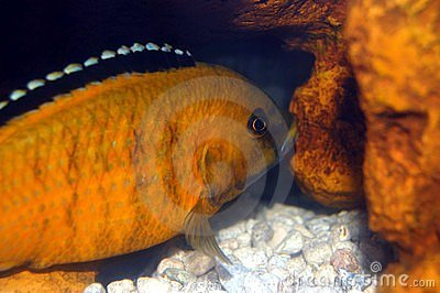 Colorful Cichlid