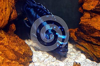 Colorful Cichlids
