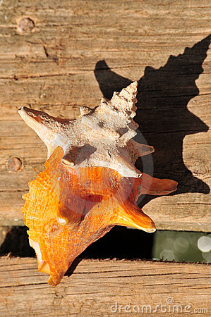 Colorful conch shell