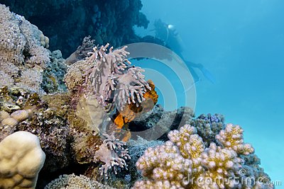 Colorful coral reef on the bottom of red sea and d