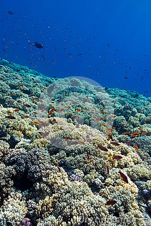 Colorful coral reef with hard corals on the bottom of tropical  sea on blue water background