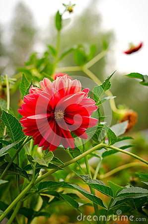 Free Colorful Dahlia Flower Red In Autumn Garden Stock Image - 59800081