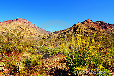 Colorful desert flowers blooming in Death Valley