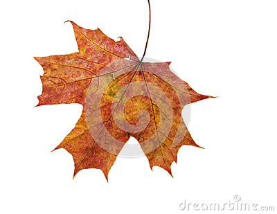 Colorful dry mapple leaf on white