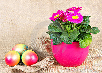 Colorful easter eggs and beautiful primula