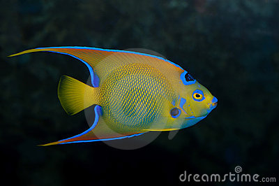 Colorful emperor fish