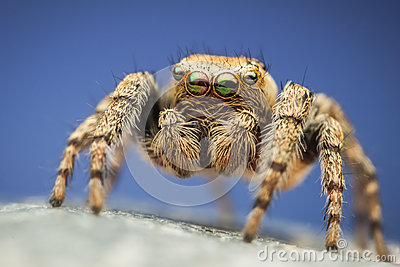 Colorful Evarcha hoyi jumping spider