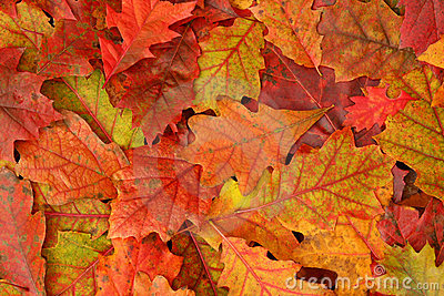 Colorful Fall Oak Leaves