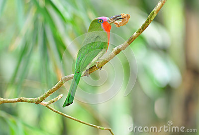 A colorful female Red-bearded Bee-eater