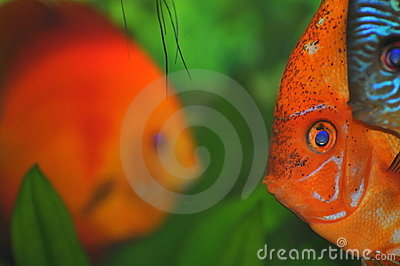 Colorful fish faces (tropical aquarium fish)