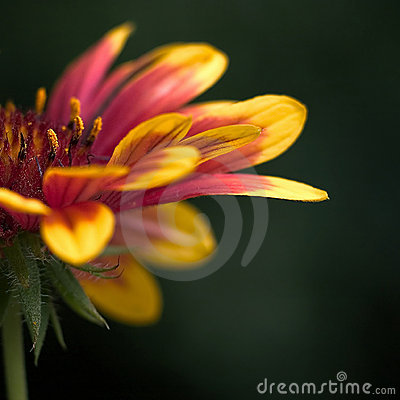 Colorful flower - Macro shot