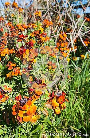 Colorful flowering Wallflower plants in springtime Stock Photo
