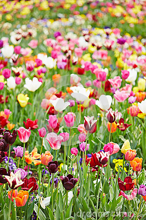 Free Colorful Flowers And Tulips In A Field Stock Photo - 31271560