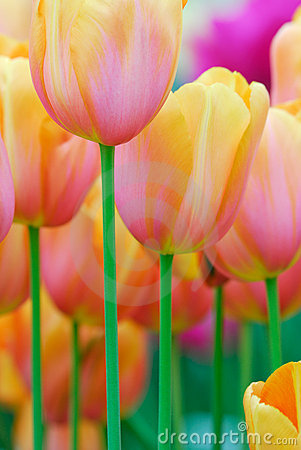 Free Colorful Flowers In Spring Royalty Free Stock Photo - 5109985