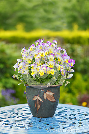 Colorful flowers in a pot Pansies