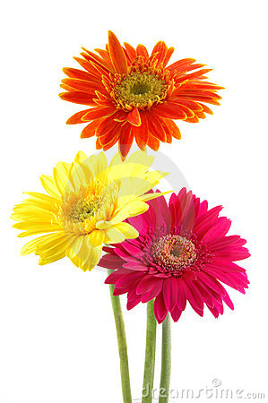 Free Colorful Gerber Daisies Stock Image - 891951