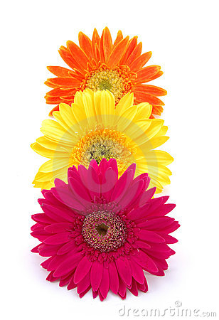 Free Colorful Gerber Daisies Royalty Free Stock Images - 891959
