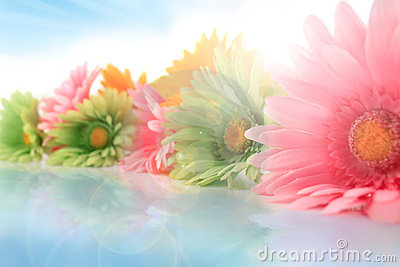Colorful gerberas with sun spots